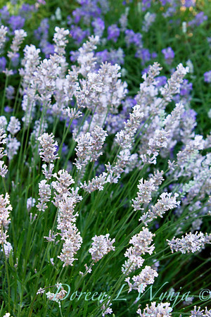 Lavandula angustifolia Little Lottie_005