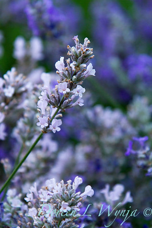 Lavandula angustifolia Little Lottie_008