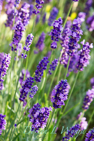 Lavandula Betty's Blue_009