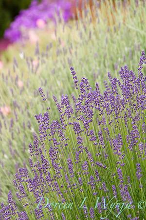 Lavandula angustifolia_664