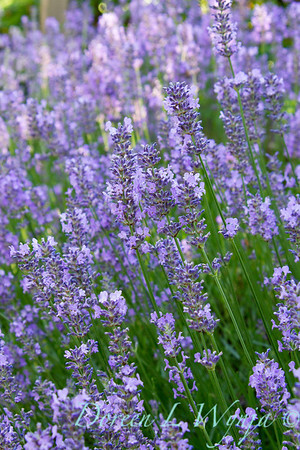 Lavandula Norfolk_003