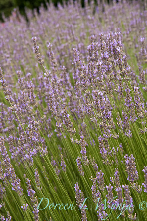 Lavandula intermedia Provence_007