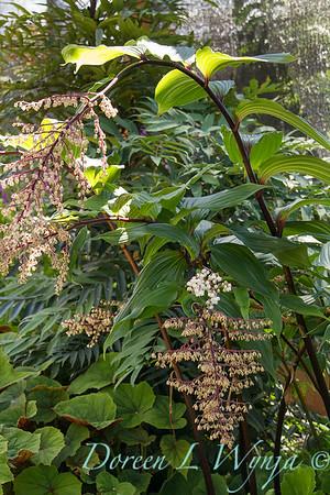 Maianthemum oleraceum_3780