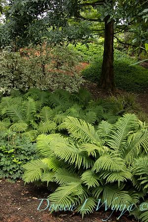 3645 Matteuccia struthiopteris - swath of ferns_3656