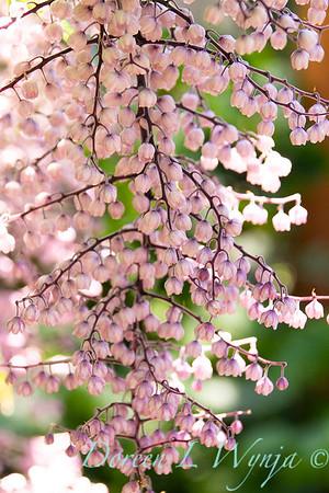 Maianthemum oleraceum_3778