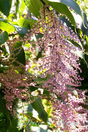 Maianthemum oleraceum_3776