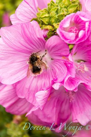 Malva moschata - pollinator bee_8650