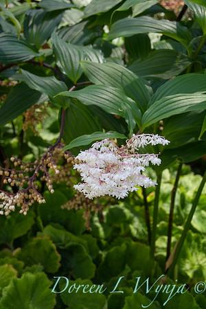 Maianthemum oleraceum_1123