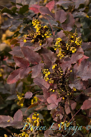 Mahonia repens winter color_0570