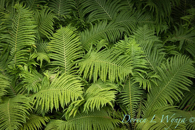 3645 Matteuccia struthiopteris - swath of ferns_3660