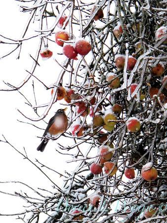 Malus Red Apple Tree_002J