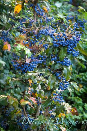 Mahonia aquifolium_273