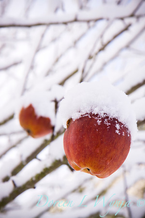 Malus Red apples in the snow_039