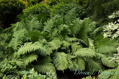 3645 Matteuccia struthiopteris - swath of ferns_3665