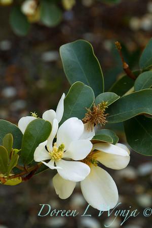 Michelia yunnanensis_0750