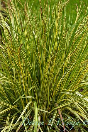 Molinia caerulea Variegata_038