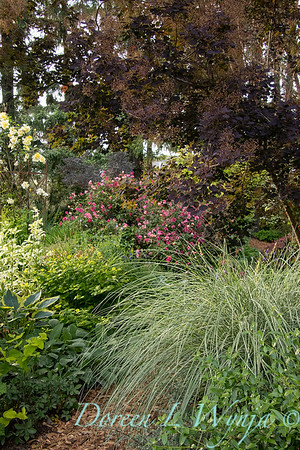 Miscanthus sinensis 'Morning Light' in a garden setting_4142