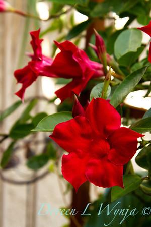Mandevilla Sun Parasol Giant Crimson_003, Mandevilla Sun Parasol Giant Crimson