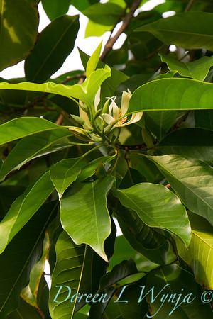 Michelia champaca_001