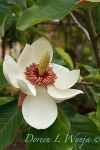 Magnolia x wieseneri_1859