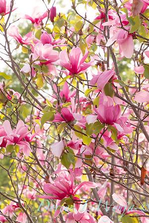 Magnolia x 'Galaxy'_2458
