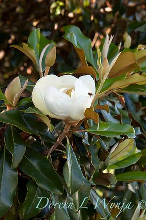 Magnolia grandiflora Little Gem_039