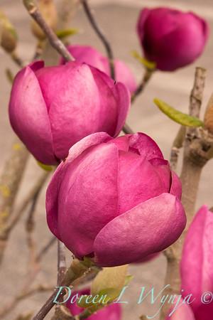 Magnolia soulangiana Jurmag1_021