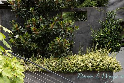 Magnolia grandiflora 'Kay Parris' - Euonymus fortunei 'Monce' Golden Prince planter_3266