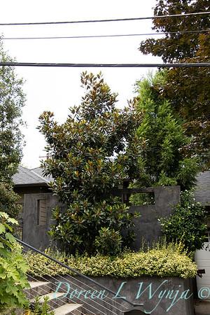 Magnolia grandiflora 'Kay Parris' - Euonymus fortunei 'Monce' Golden Prince planter_3256