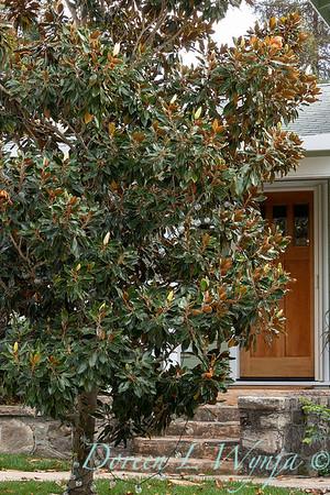 Magnolia grandiflora_3585