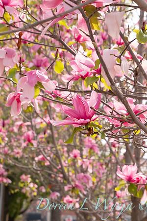 Magnolia x 'Galaxy'_2454