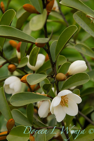 Magnolia laevifolia - Michelia yunnanensis flowers_7808