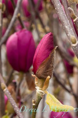 Magnolia x soulangiana 'Jurmag1'_003