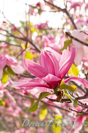 Magnolia x 'Galaxy'_2456