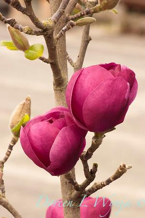 Magnolia soulangiana Jurmag1_024
