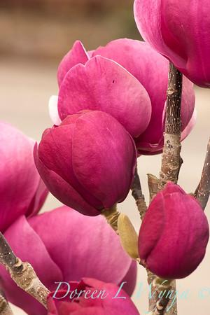 Magnolia soulangiana Jurmag1_022