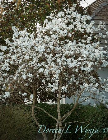 Magnolia stellata 'Royal Star'_2594