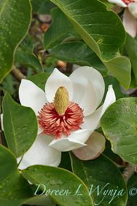 Magnolia x wieseneri_1862