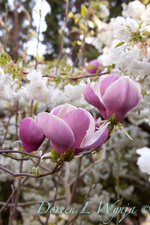 Magnolia Rustica Rubra_001