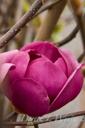 Magnolia x soulangiana 'Jurmag1'_022