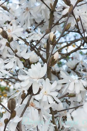 Magnolia stellata Royal Star_050