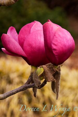 Magnolia Felix_004