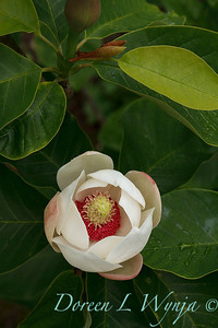 Magnolia x wieseneri_1861