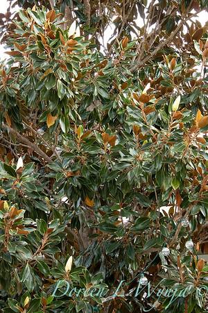 Magnolia grandiflora_3588