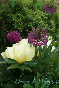 Paeonia x 'Bartzella' among Allium hollandicum 'Purple Sensation'_1846