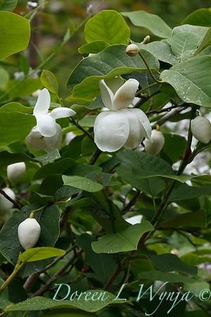 Magnolia wilsonii_1858