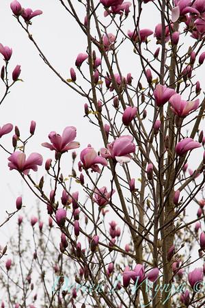 Magnolia soulangiana_005