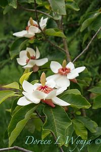 Magnolia x wieseneri_011