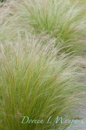 Nassella tenuissima_027