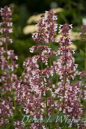 Nepeta grandiflora 'Dawn to Dusk'_8289